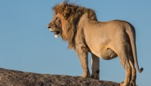 Lion - Serengeti National Park - Tanzania