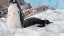 Neko Harbour Antarctica Gentoo Penguin Chicks