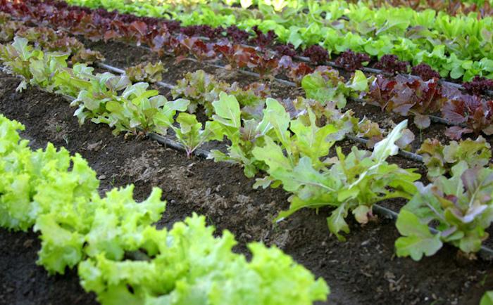 Ilustrasi - Kebun Sayur Organik. Foto : freeimages.com