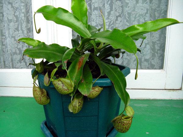 nepenthes. foto:tipsrumah.com