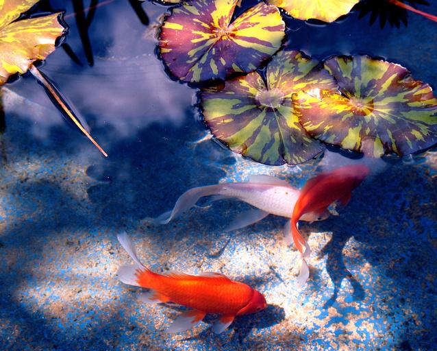 Ilustrasi Kolam Ikan   Img:freeimages.com