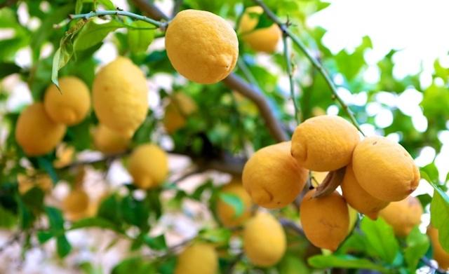 pohon jeruk lemon