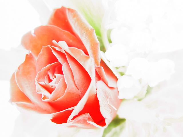Ilustrasi Mawar | Img:freeimages.com