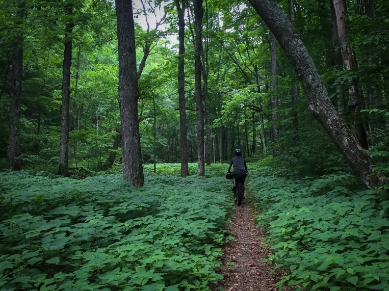 After the southernmost mile or so, and just after crossing a bridge to the east side of the creek, Leicester Hollow Trail opened up into some of the most scenic singletrack through canopied forest and lush undergrowth.... and fields of stinging nettles....