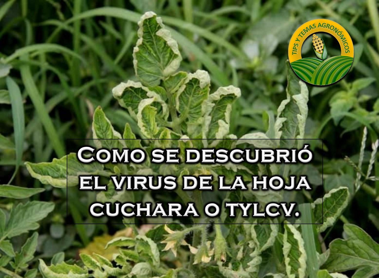 Cuando se descubrió el virus de la hoja cuchara.
