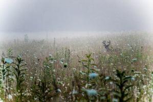 Jennifer Hutsell cades cove deer