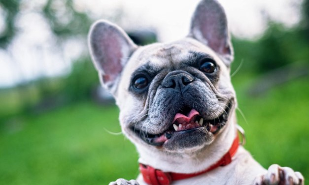 7 Things Only Frenchie Parents Would Understand