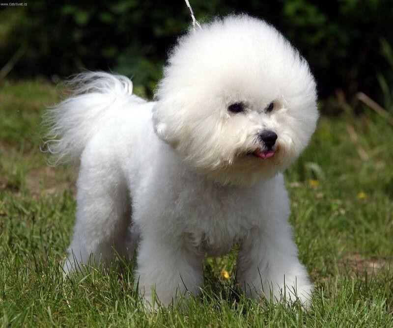 photo bolognese dog standard bolognese