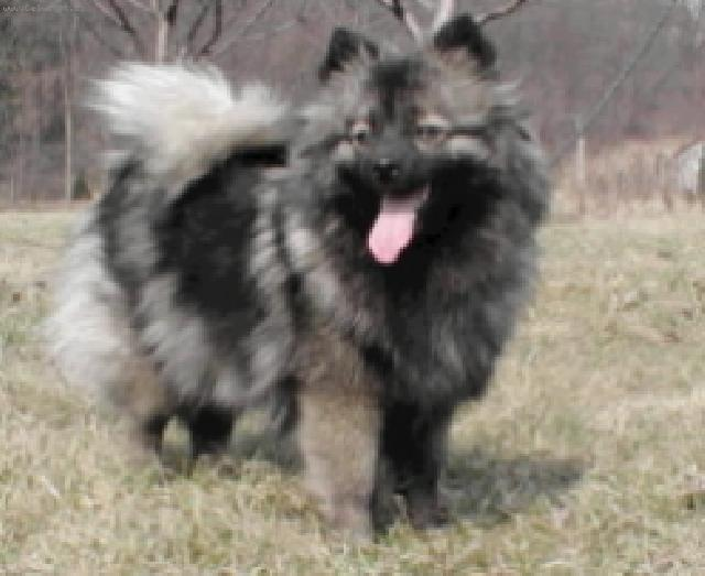 german spitz medium size dog standard deutscher spitz mittelspitz