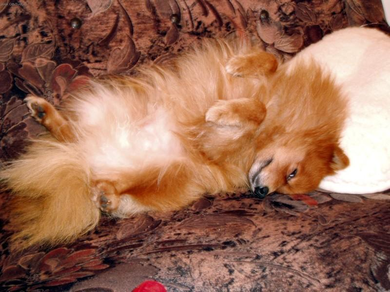 photo german spitz miniature spitz dog standard deutscher spitz