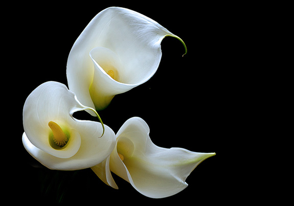 calla lily 10 Most Beautiful Flowers In The World