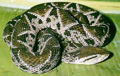 7. Yellow Jawed Tommygoff Top 10 Most Dangerous Snake Species