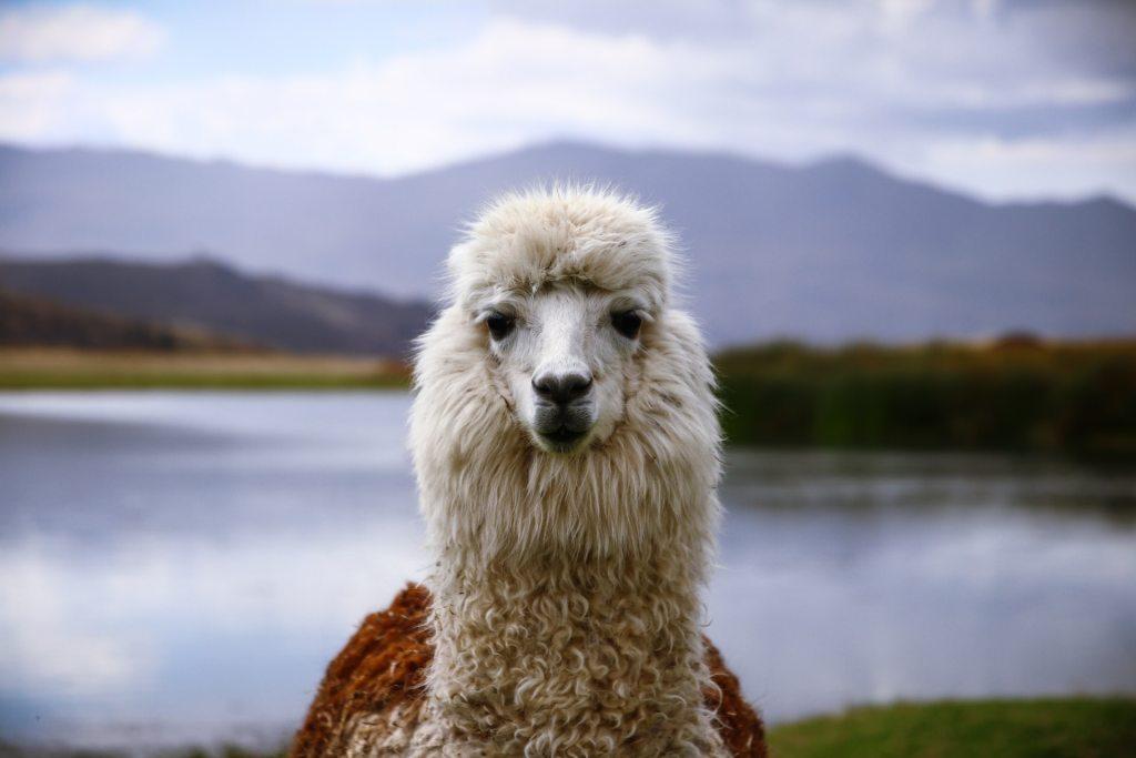 A llama looking at the camera in Huaraz, Peru.