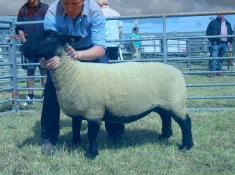 Suffolk ewe