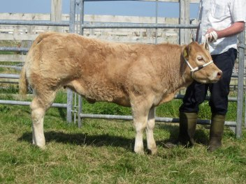 supreme cattle champion at Tiree Show 2014