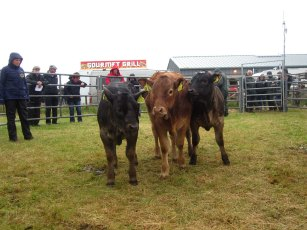 Limousin Calf Class