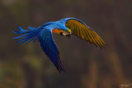 Foto de una especie de loro de color azul muy bonito que está volando