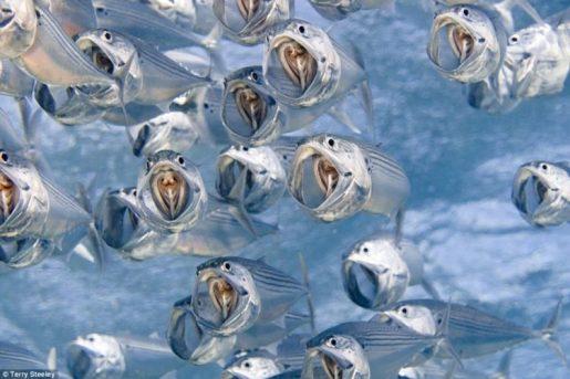 Foto submarina donde aparecen muchos peces pequeños con la boca abierta mientras nadan.