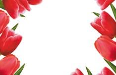 Valentine's Day Tulip Vector 02