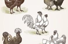 Simple Vector Chicken Illustration 03