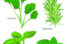 Collection Of Green Herbals Vector 03