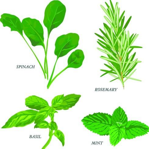 Collection Of Green Herbals Vector 03