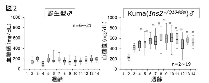 図2. Kumaマウスは糖尿病を自然発症する
