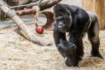 gorilla-zoo-praga
