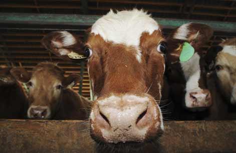 vache folle USA
