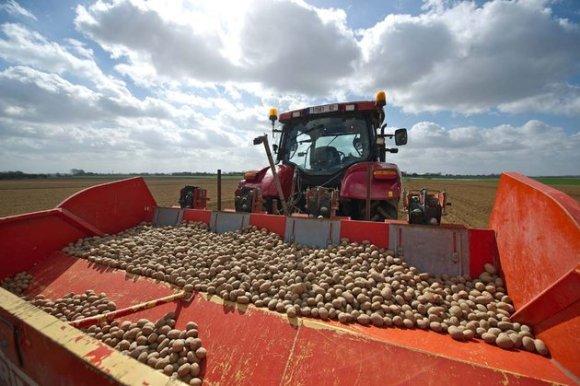 France : Pomme de terre à 90 centimes le kilo