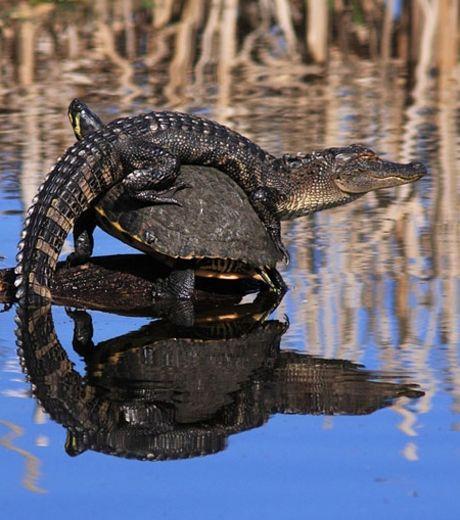 un-alligator-curieusement-perche-ici-sur-le-dos-d-une-tortue_127575_w460