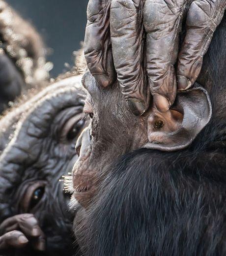 une-attentionnee-maman-chimpanze-en-train-d-epouiller-son-petit_127562_w460