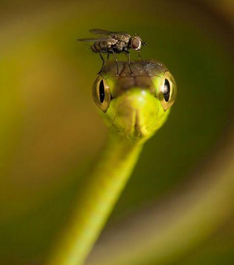 une-intrepide-mouche-posee-sur-la-tete-d-un-serpent-des-vignes_127564_w460