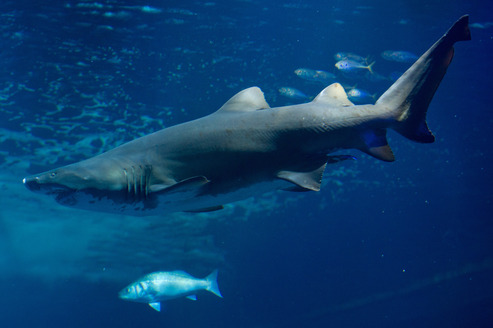 Un requin tigre. Crédits photo: AFP