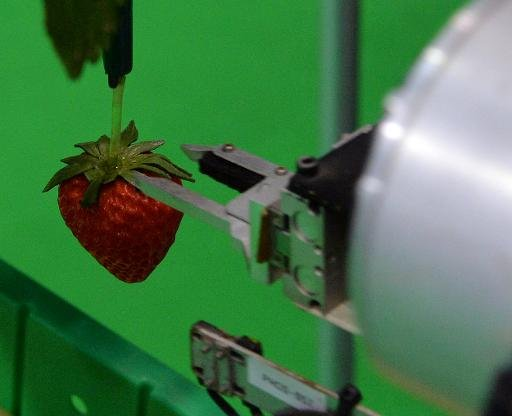 Machines agricoles maker Shibuya Seiki et nationale de l'agriculture et de l'Organisation Food Research montrent un robot choisir une fraise mûre, Tokyo, Septembre 25, 2013.