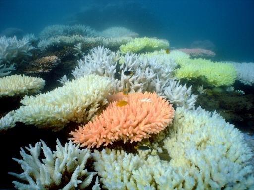 Le blanchiment est visible sur un récif de corail de l'île à mi-chemin dans la Grande Barrière de corail en Australie, dans une photo non datée, reçue de l'Australian Institute of Marine Science le 2 Octobre 2012