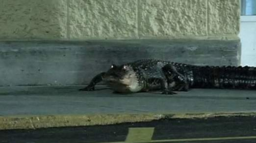 Alligator fait une pause shopping