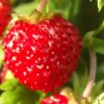 Bilde av Markjordbær.
