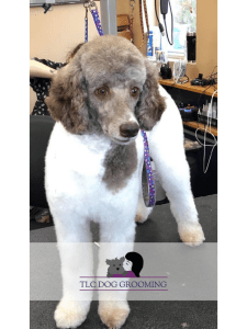 Fresh Groomed Emma the Poodle at TLC Dog Grooming