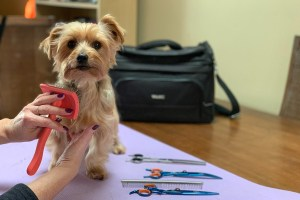 Brushing Your Small Breed at Home with TLC Dog Grooming