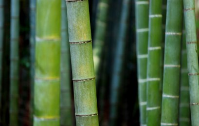 Learning People and Plants with Hawthorn English: Bamboo