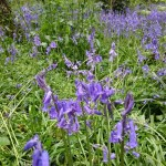 Gorgeous bluebell woods