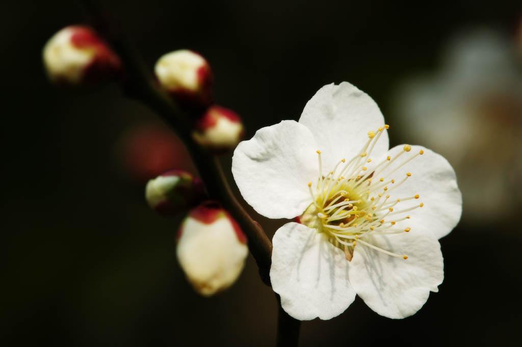 fotografia, material, livra, ajardine, imagine, proveja fotografia,Uma flor de uma ameixa, Branco, ameixa, ameixa, pétala
