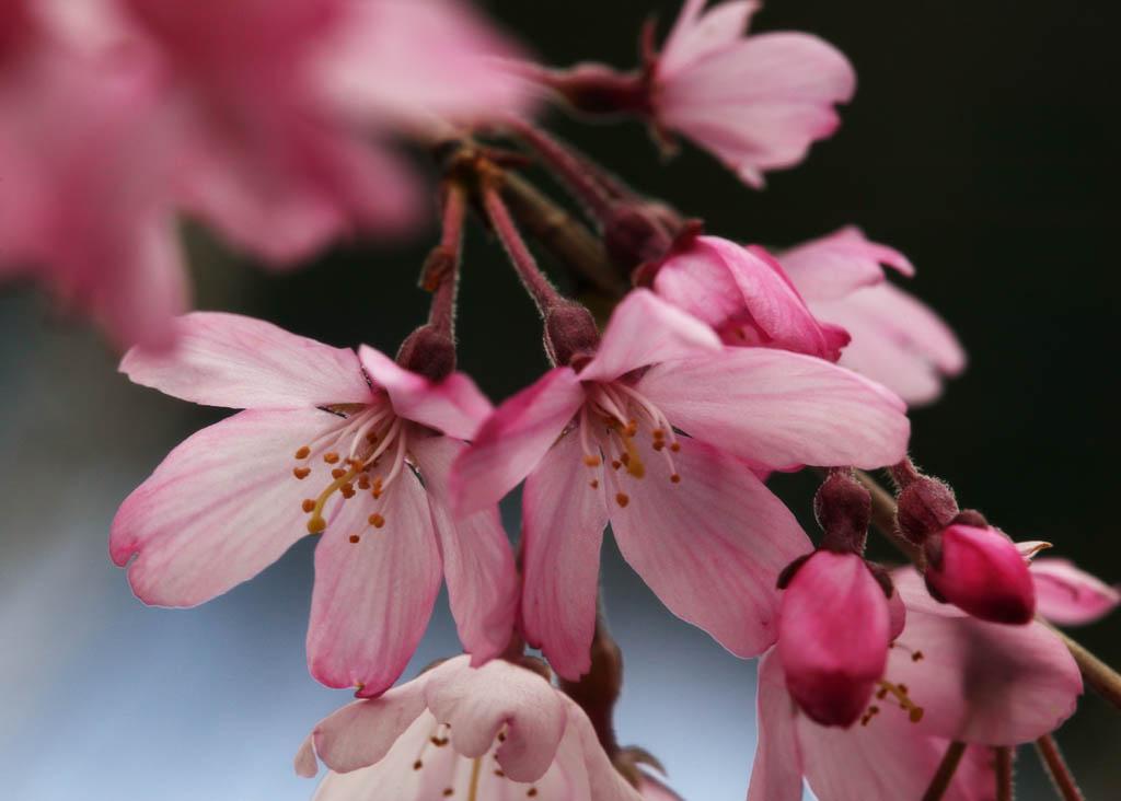 fotografia, material, livra, ajardine, imagine, proveja fotografia,Tempo de uma árvore de cereja se inclinando, árvore de cereja, árvore de cereja, árvore de cereja, Eu penduro abaixo e é chamariz