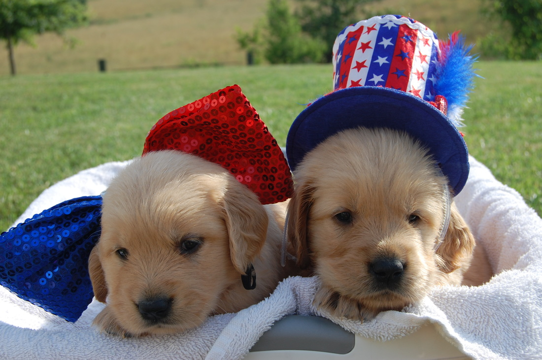 Fourth of july puppies