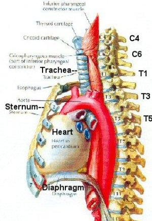 Kenh's Blog: trachea esophagus diagram