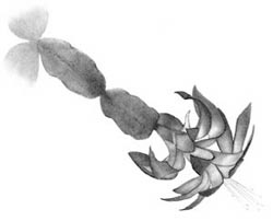 xmas cactus drawing