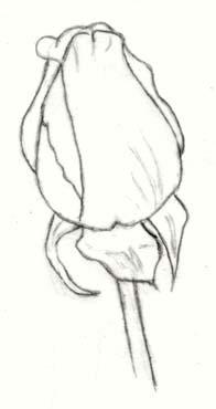 Draw A Rose Bud | Carol's Drawing Blog