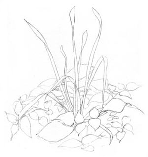 Daffodill leaves line drawing with accent lines. C. Rosinski