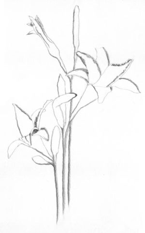 Daylilies line drawing with shadow lines C. Rosinski